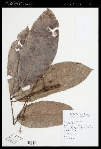 Protium tenuifolium image