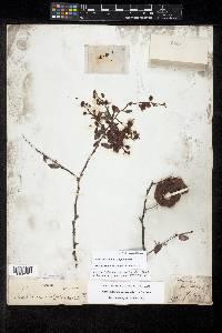 Pithecellobium oblongum image