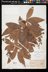 Zygia longifolia image