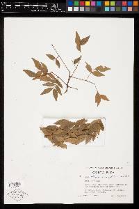 Albizia adinocephala image