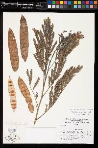 Albizia carbonaria image