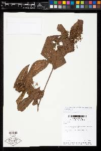 Miconia affinis image