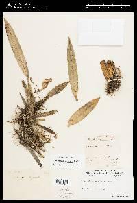 Trichopilia marginata image