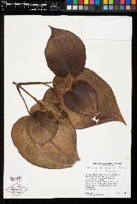 Image of Miconia benthamiana