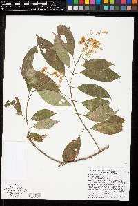 Image of Miconia carnea