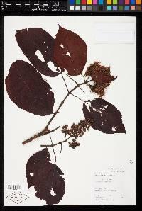 Image of Miconia caudata