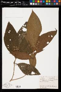 Image of Miconia cionotricha