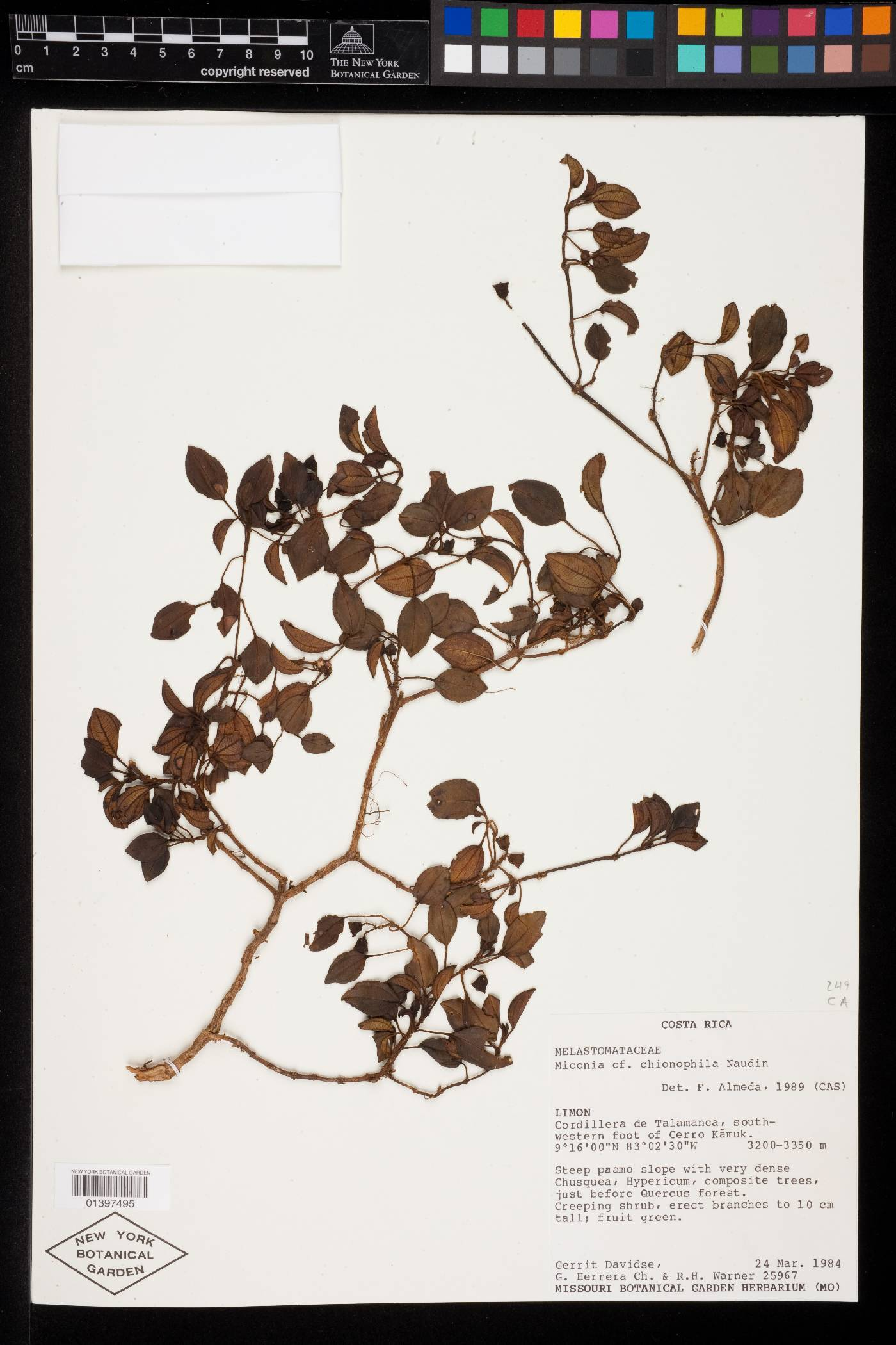 Miconia chionophila image