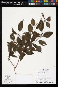 Miconia chiriquiensis image