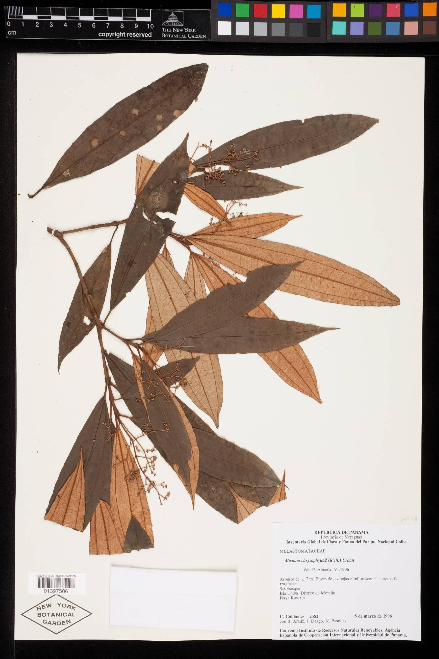 Miconia chrysophylla image