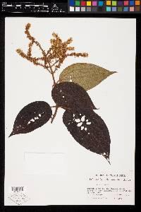 Image of Miconia desmantha