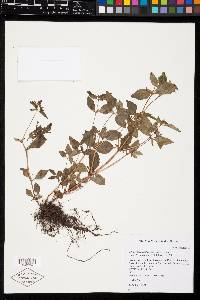 Schwackaea cupheoides image