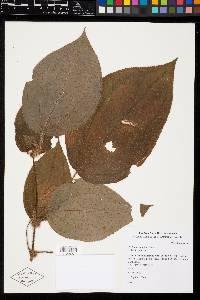 Clidemia crenulata image