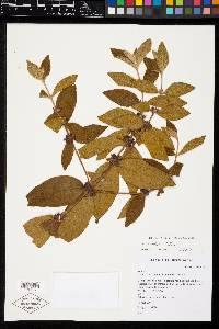 Clidemia sericea image