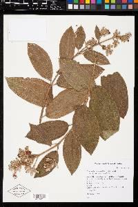 Tibouchina bipenicillata image