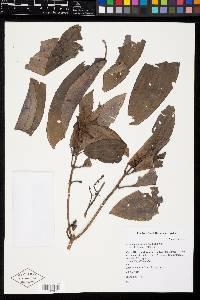 Miconia oinochrophylla image