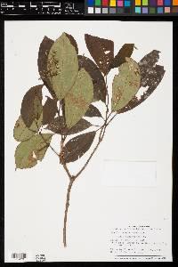 Miconia hondurensis image