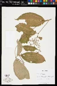 Image of Miconia gracilis