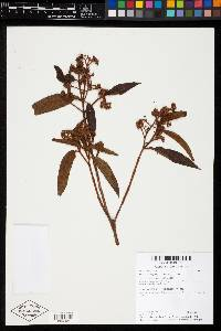 Miconia ibaguensis image