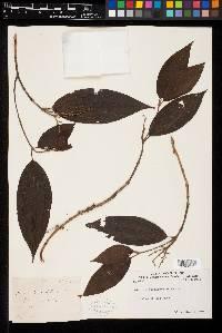 Miconia lonchophylla image