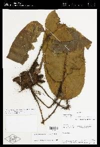Elaphoglossum crinitum image