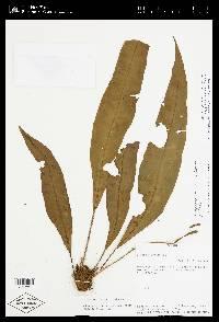 Elaphoglossum gomezianum image