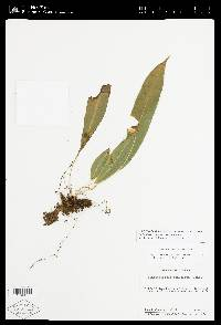 Elaphoglossum angustioblongum image