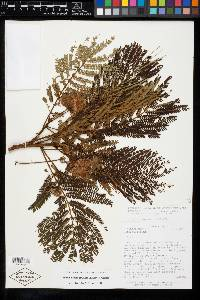 Balizia elegans image