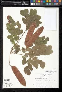 Pseudosamanea guachapele image