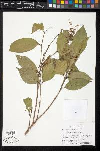 Miconia smaragdina image