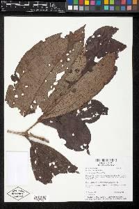 Miconia simplex image
