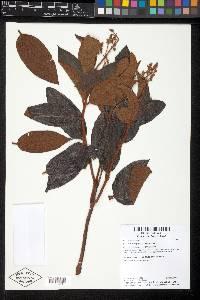Miconia rubiginosa image