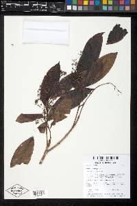Miconia poeppigii image