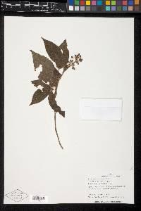 Miconia pittieri image