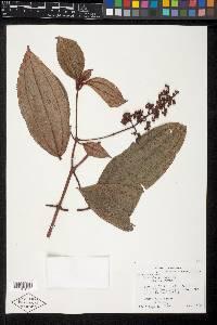 Miconia ciliata image