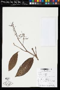 Miconia longifolia image