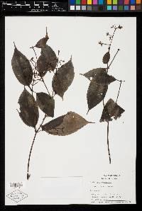 Miconia lateriflora image
