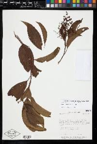 Miconia theaezans image