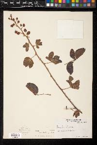 Mimosa albida image