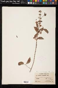 Mimosa velloziana image