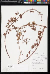 Mimosa debilis image