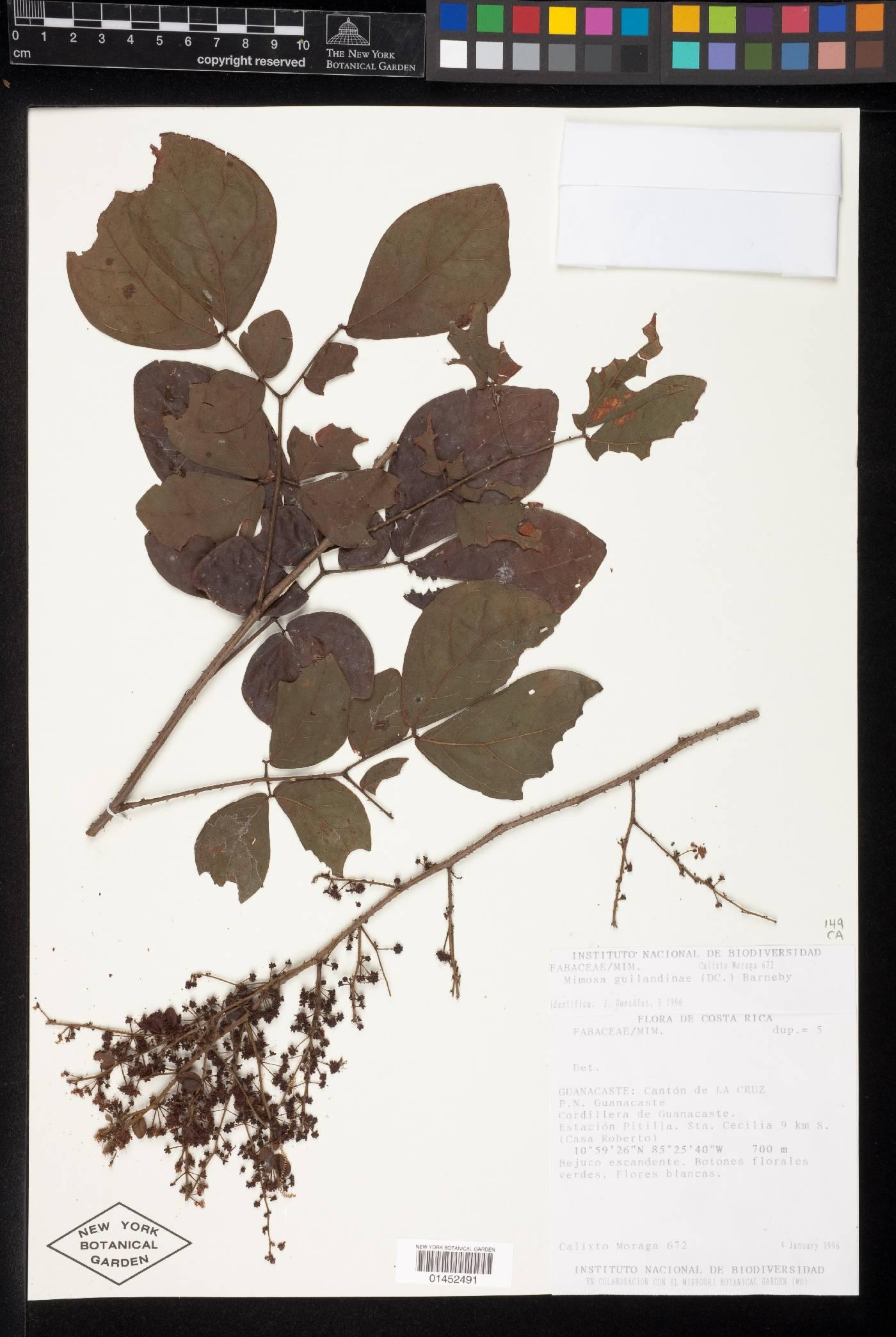 Mimosa guilandinae image