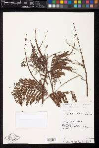 Mimosa myriadenia image