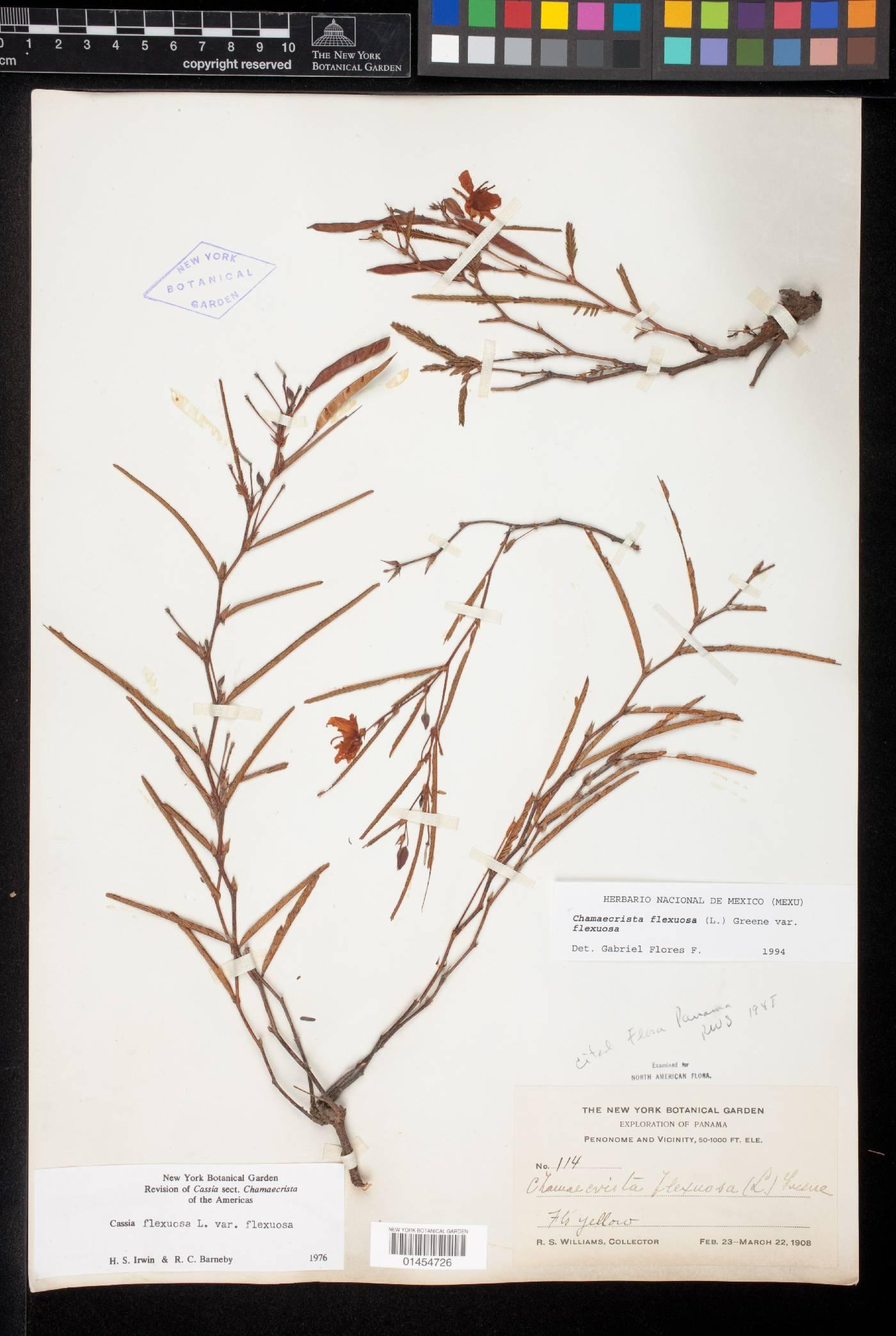 Chamaecrista flexuosa image