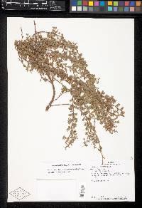Chamaecrista kunthiana image