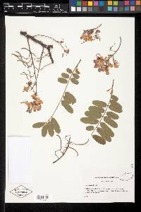 Cassia grandis image