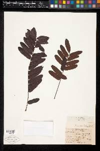 Cassia moschata image