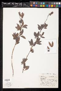 Calliandra coriacea image