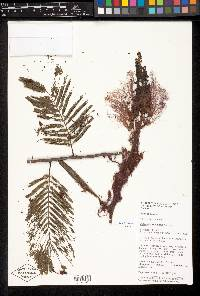 Calliandra houstoniana image