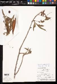 Calliandra laxa image